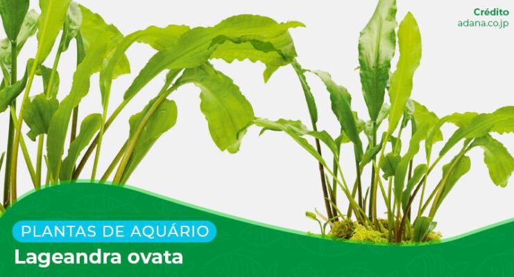 Ficha: Planta Lageandra Ovata