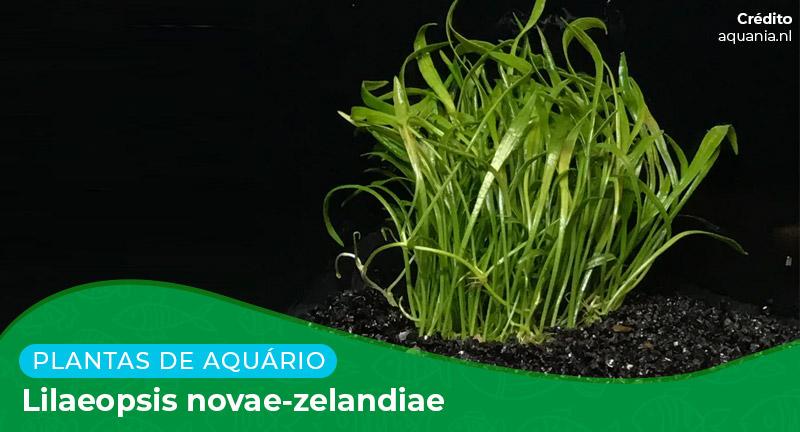 Ficha: Planta Lilaeopsis Novae-Zelandiae