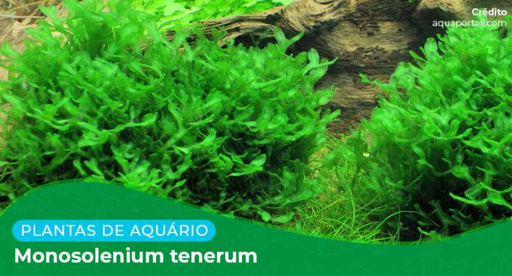 Ficha: Planta Monosolenium Tenerum