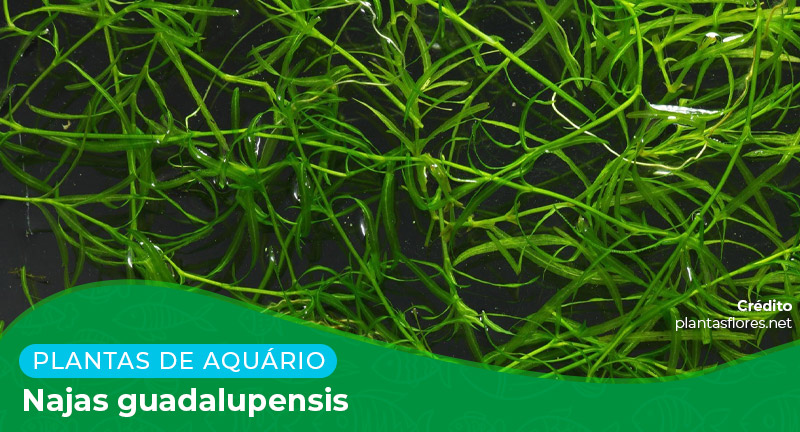 Ficha: Planta Najas Guadalupensis