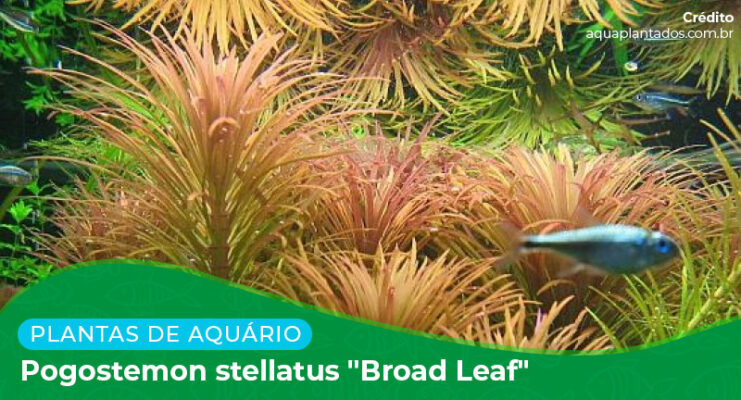 "Ficha: Planta Pogostemon Stellatus ""Broad Leaf"""