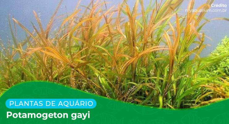 Ficha: Planta Potamogeton Gayi