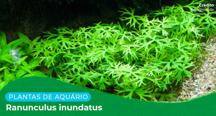 Ficha: Planta Ranunculus Inundatus