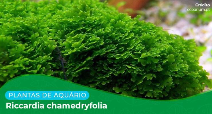 Ficha: Planta Riccardia Chamedryfolia