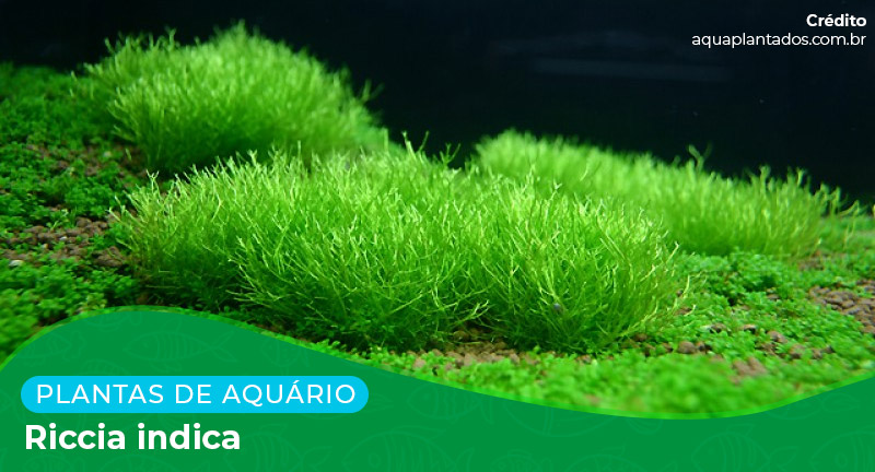 Ficha: Planta Riccia Indica