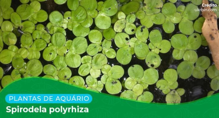 Ficha: Planta Spirodela Polyrhiza