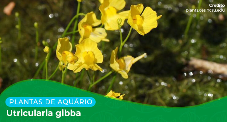 Ficha: Planta Utricularia Gibba