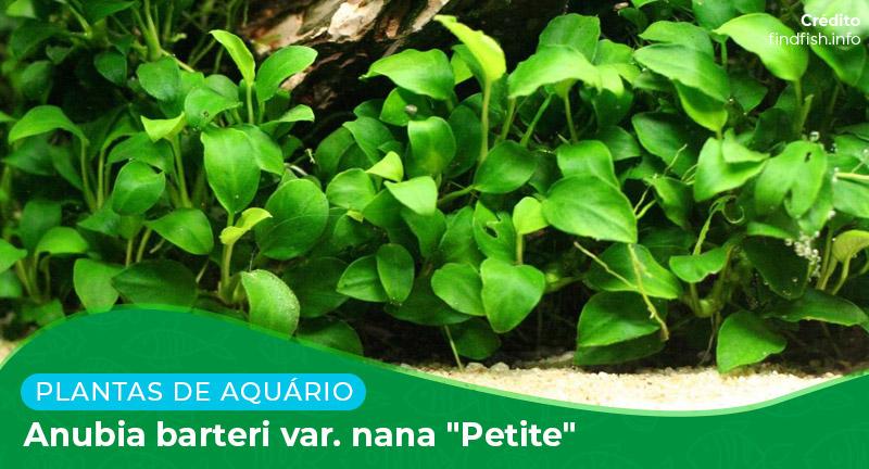 "Ficha: Planta Anubias Barteri var. nana ""Petite"""