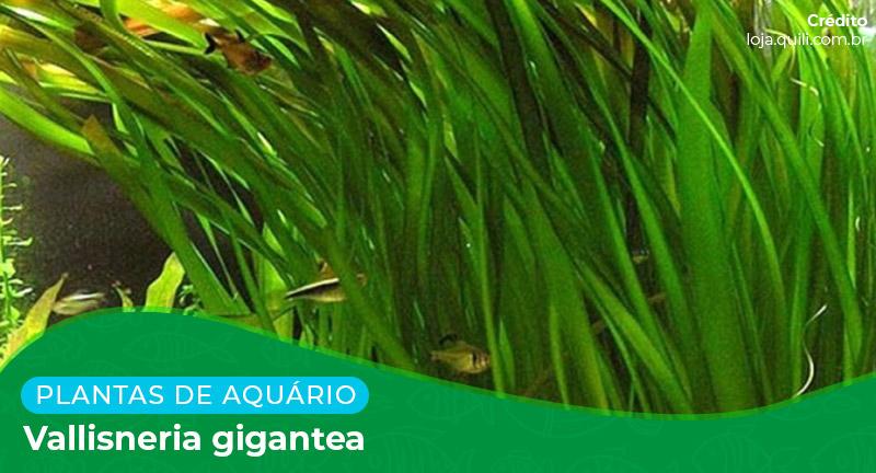 Ficha: Planta Vallisneria Gigantea