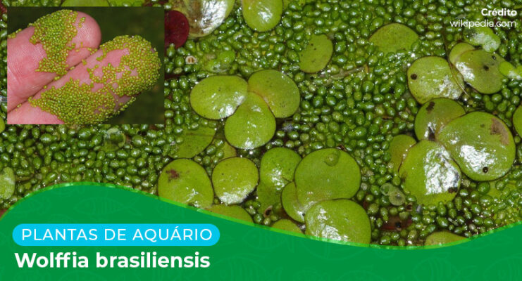 Ficha: Planta Wolffia Brasiliensis